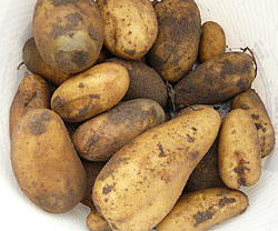 Die Kartoffel – ein Rätsel