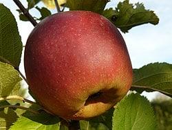 Der Apfel – ein Gedicht zum Recken und Strecken