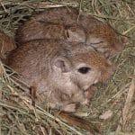 Was macht die Maus im Krippenstroh?