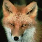 Der rote Fuchs